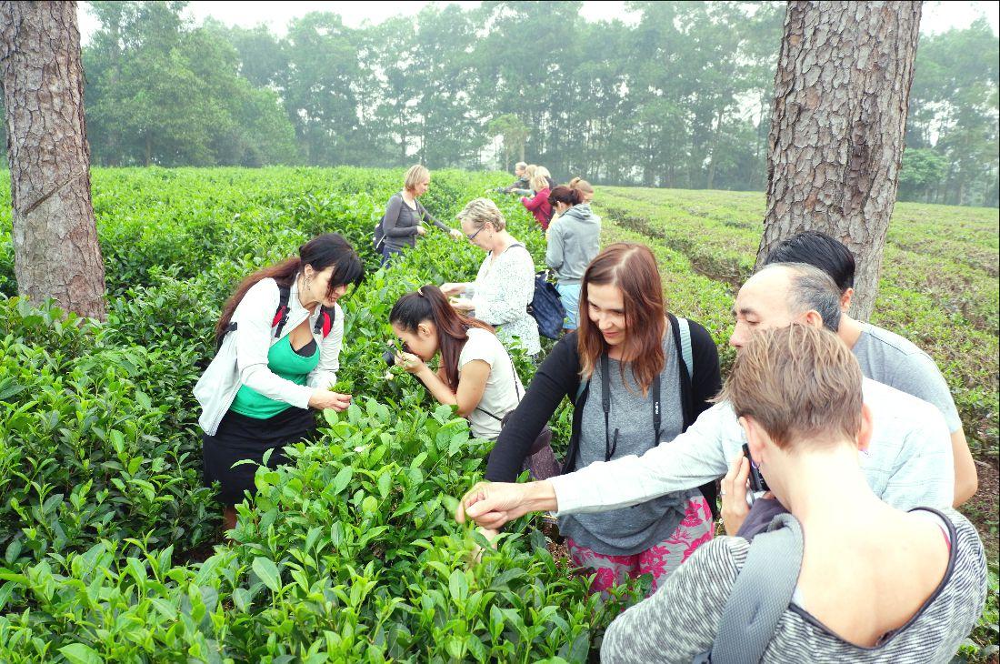 Havesting-tea (4)
